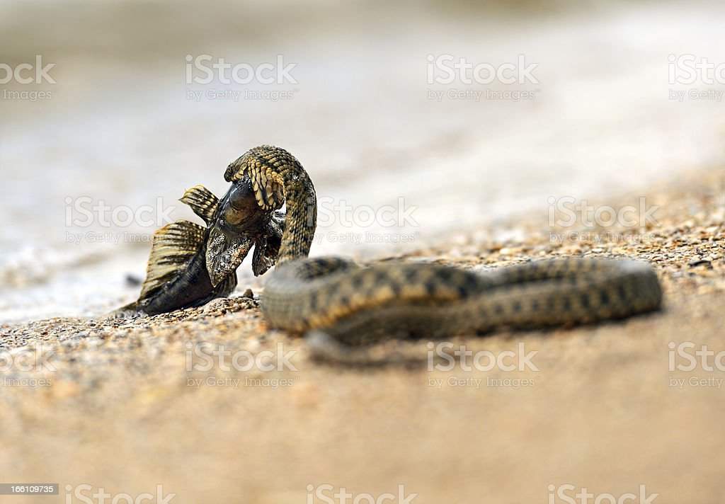 water snake royalty-free stock photo