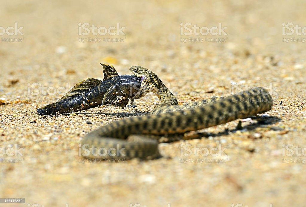 water snake royalty-free stock photo