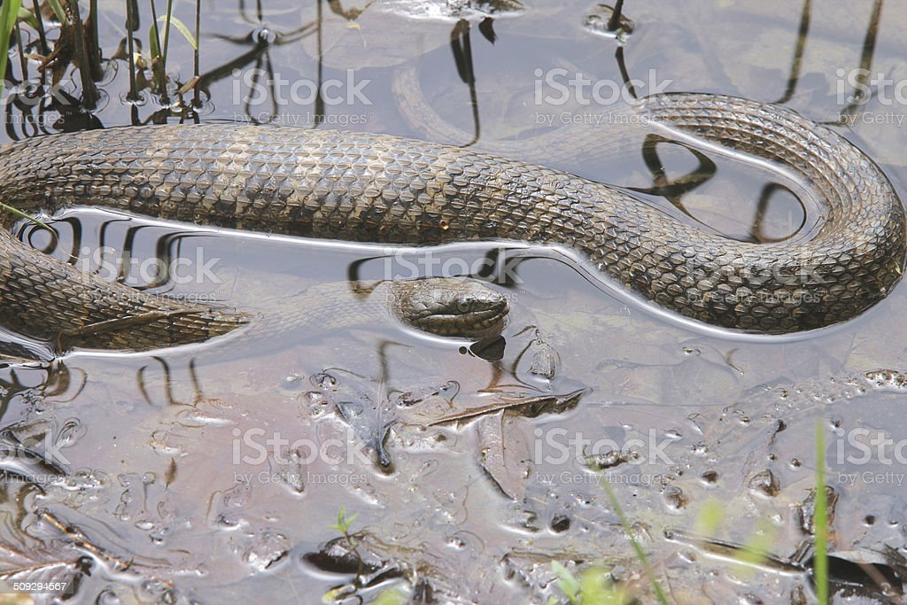 Water Snake stock photo