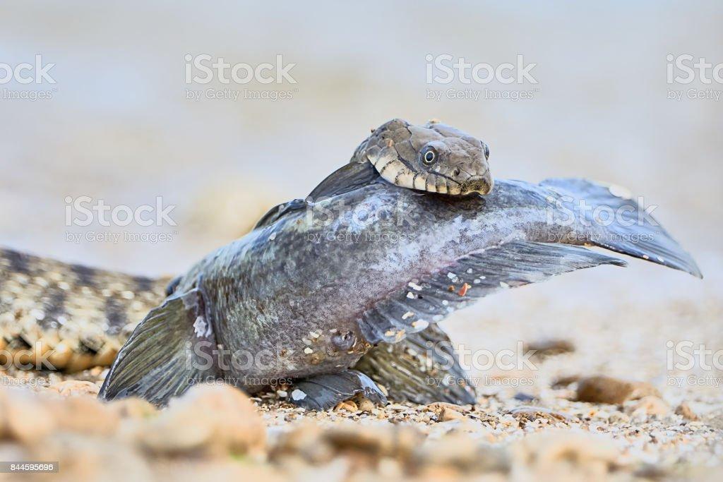 Water snake swallows fish stock photo