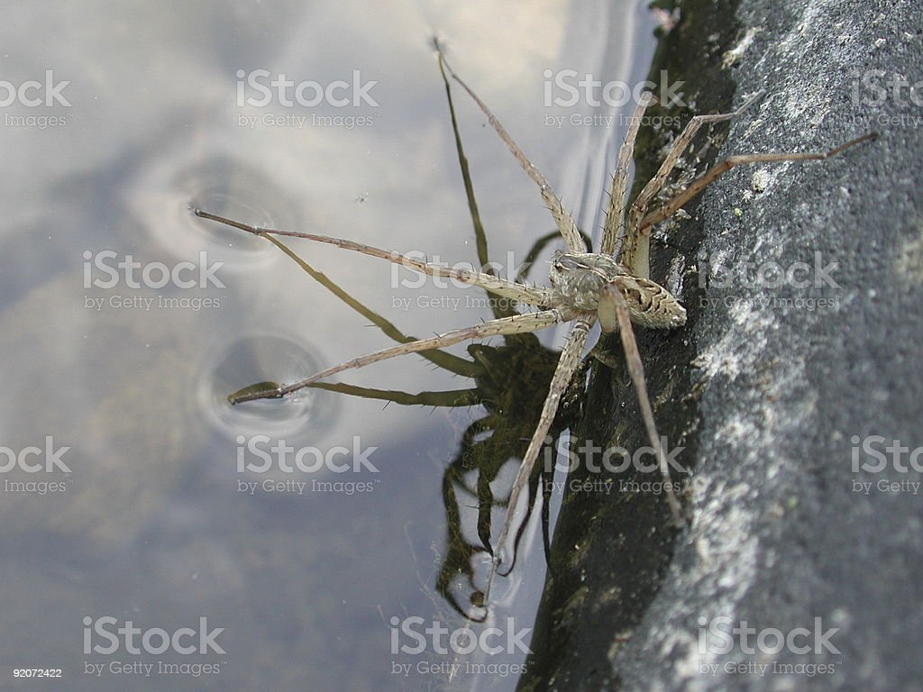 Water spider balancing on surface tension royalty-free stock photo
