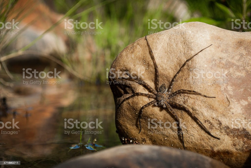 Water Spider royalty-free stock photo
