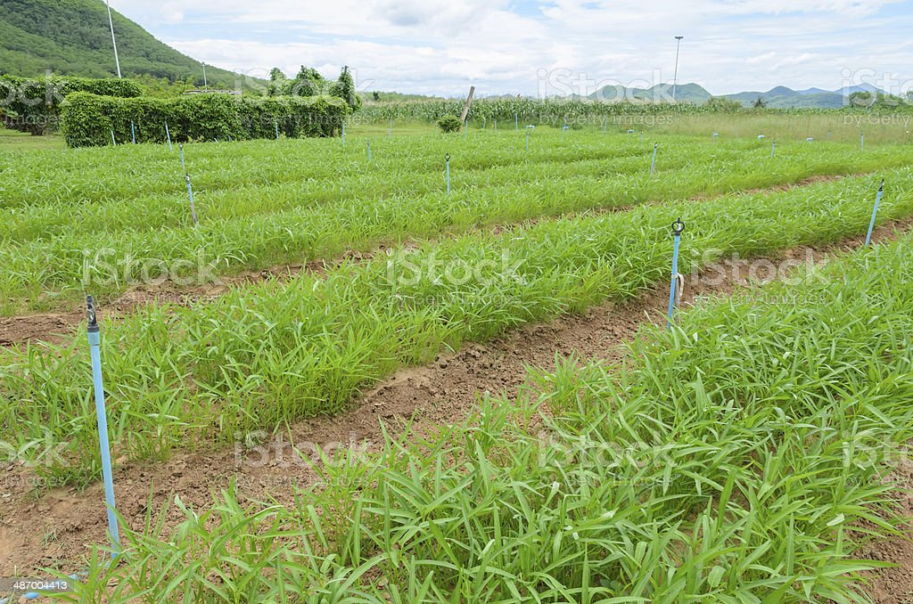 Water spinach plantation stock photo