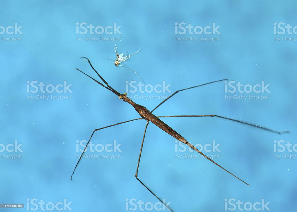 Water Stick Insect royalty-free stock photo