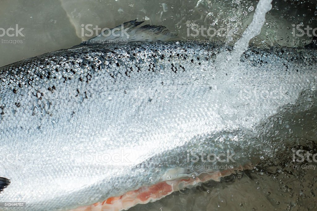 Water stream pours on fish. stock photo