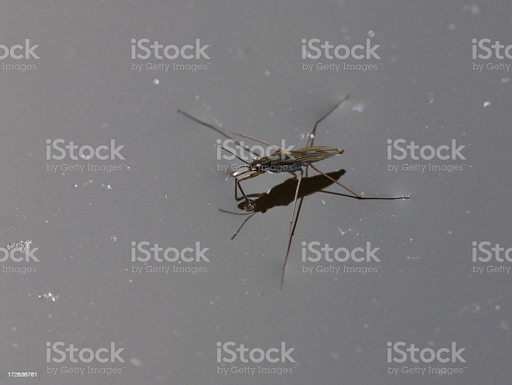 Water strider royalty-free stock photo