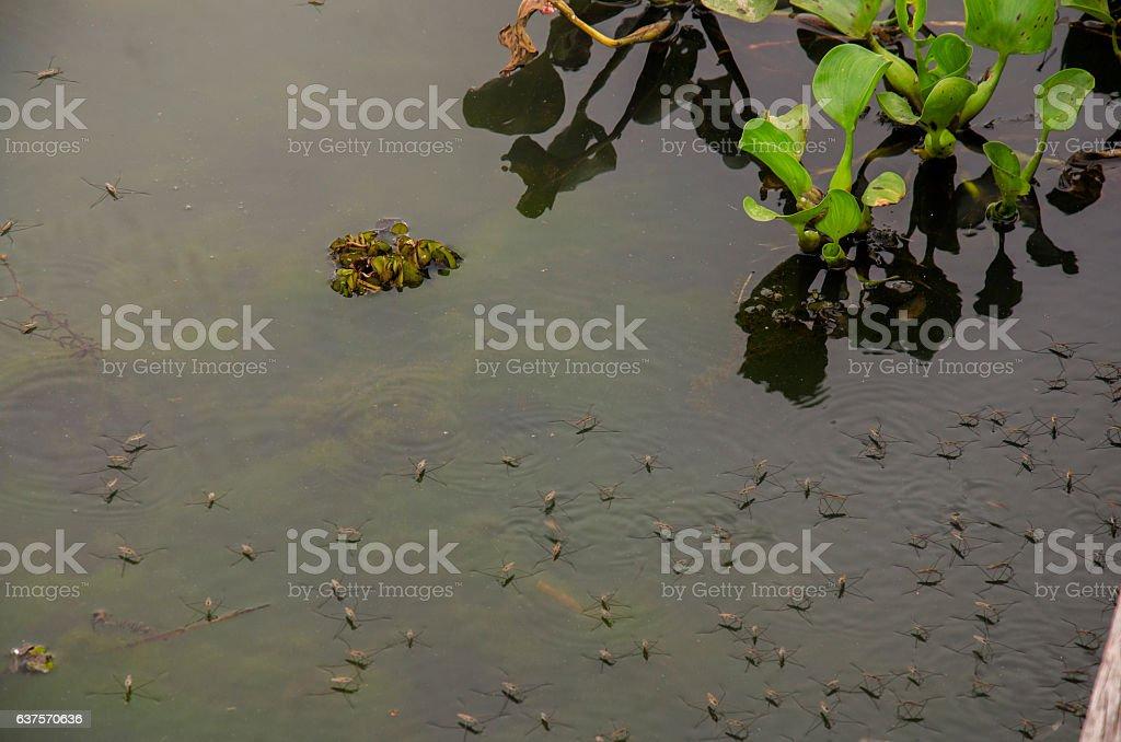 Water Striders or Pond Skaters or Gerridae or jesus bugs stock photo