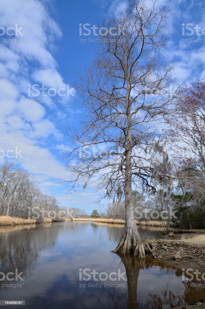 Water Tupelo Tree In River, Nyssa aquatica stock photo