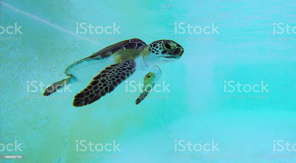 Water Turtle royalty-free stock photo