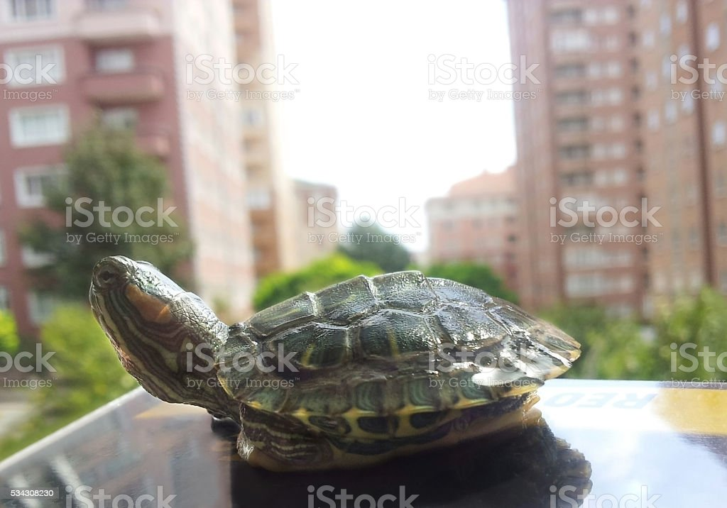 Water turtle towards the buildings stock photo
