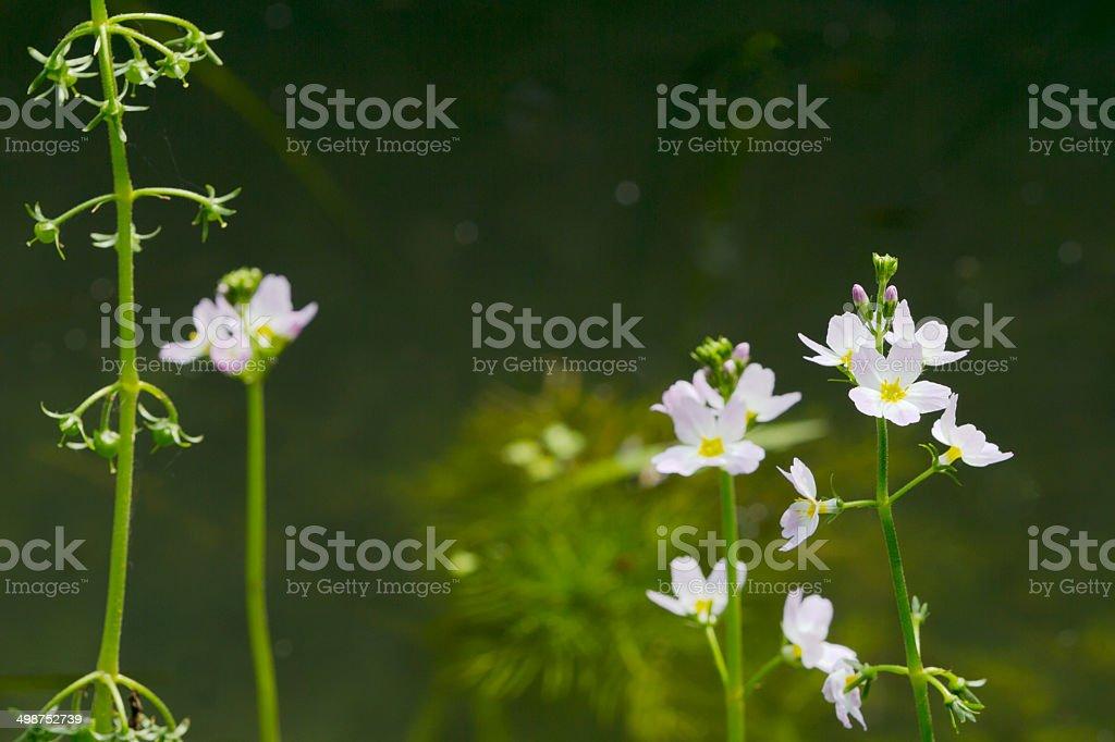 Water Violet (Hottonia palustris) royalty-free stock photo