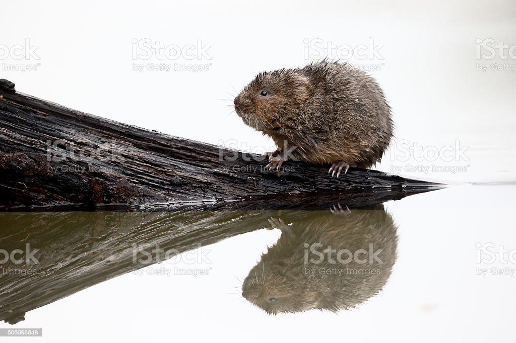 Water vole, Arvicola amphibius stock photo