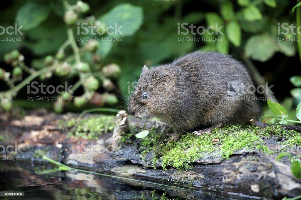 Water vole, Arvicola terrestris stock photo
