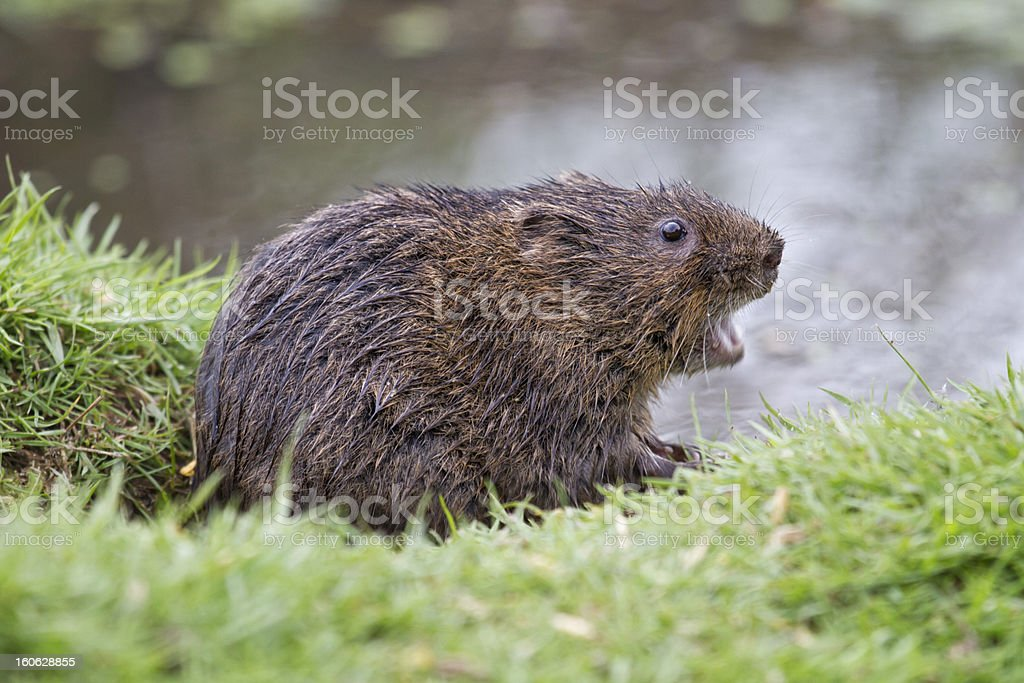 Water Vole royalty-free stock photo