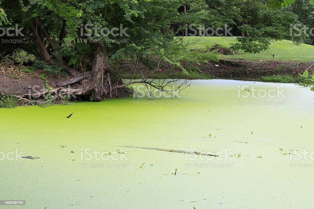 Water weed stock photo