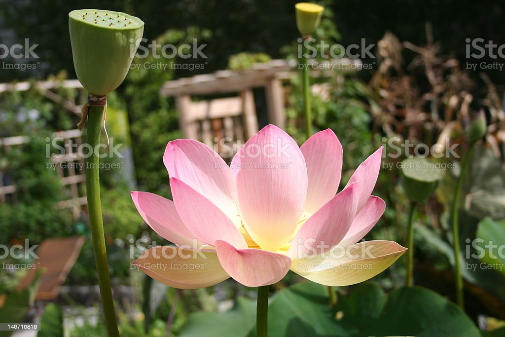 water_lily.JPG stock photo