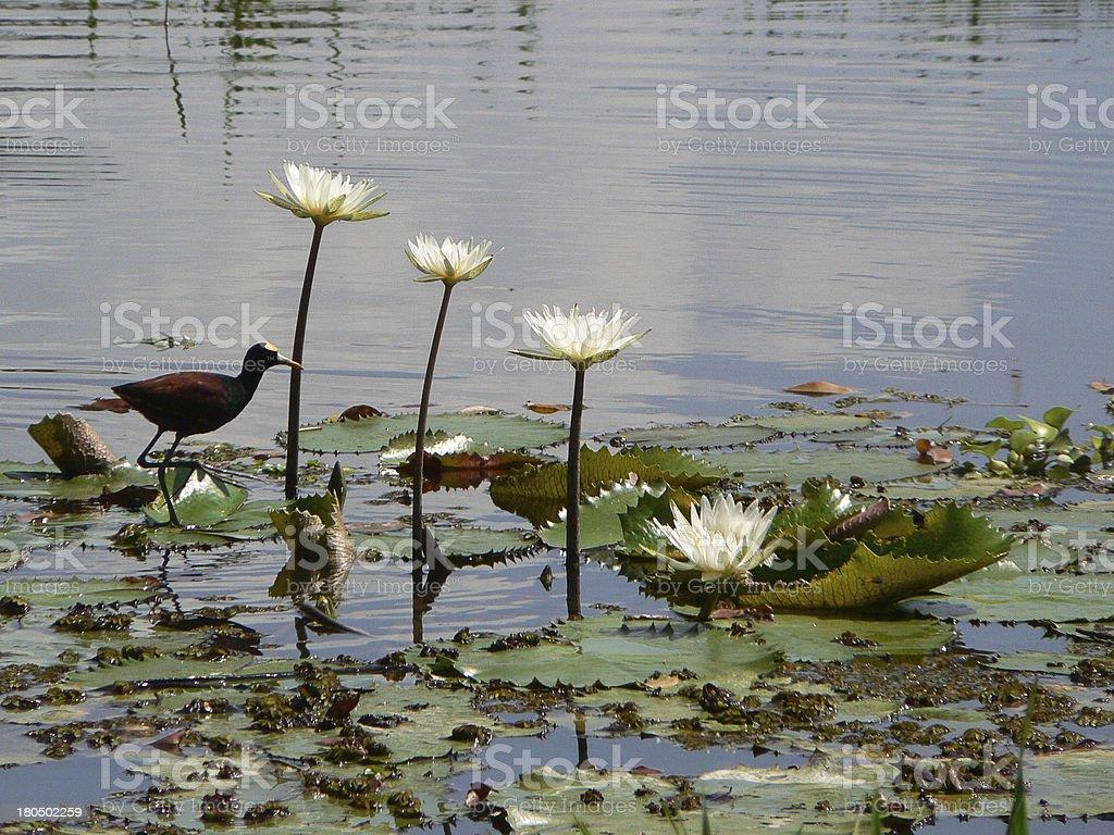 Waterbird and Aquatic Plants Cuero Salado Refuge Honduras royalty-free stock photo