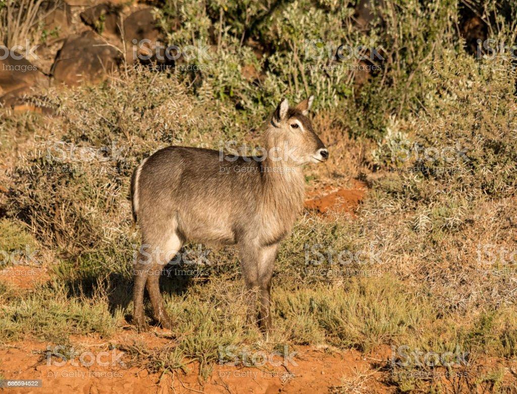 Waterbuck Antelope stock photo