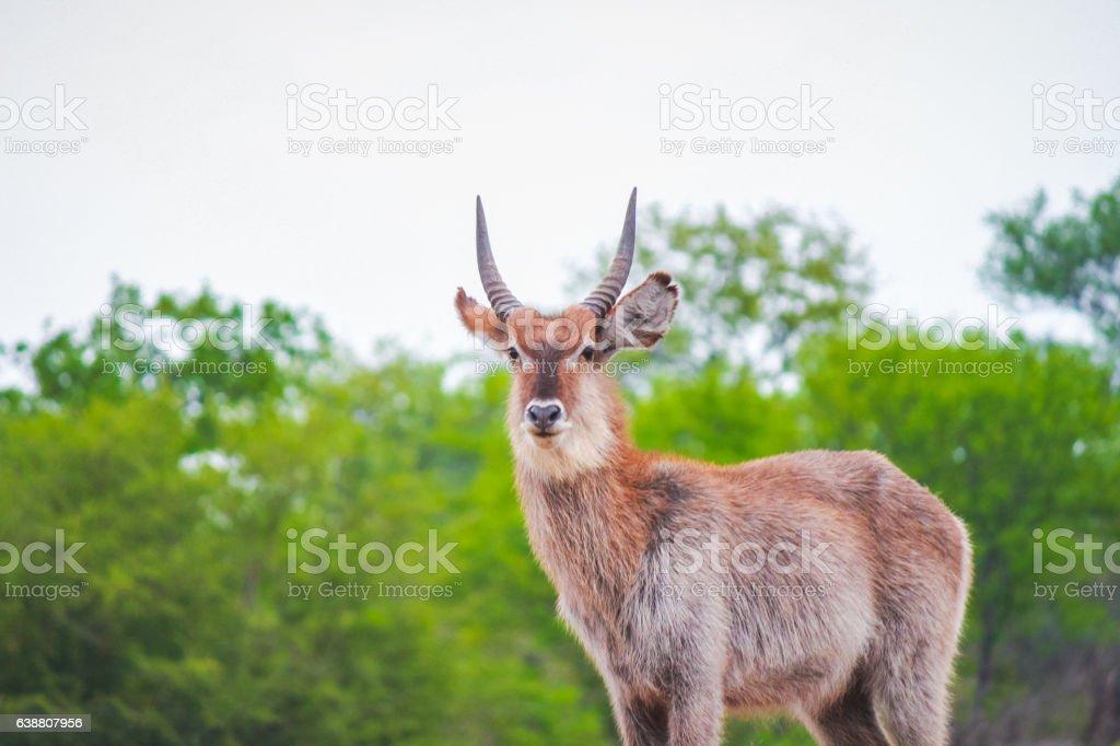 Waterbuck Antelope With Horns Staring Forward stock photo