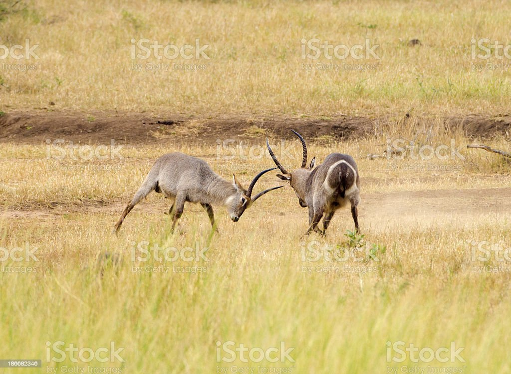 Waterbuck Battle - South Africa royalty-free stock photo