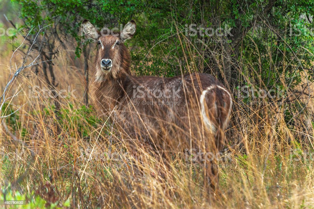 Waterbuck blends into the tall, dry winter grasses stock photo