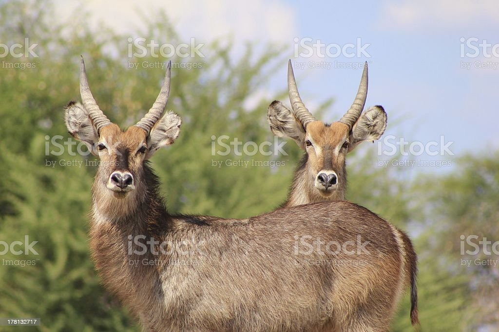 Waterbuck Bull Brothers from Africa royalty-free stock photo