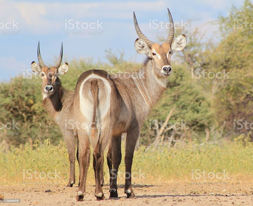 Waterbuck - Bull Brothers from Africa royalty-free stock photo