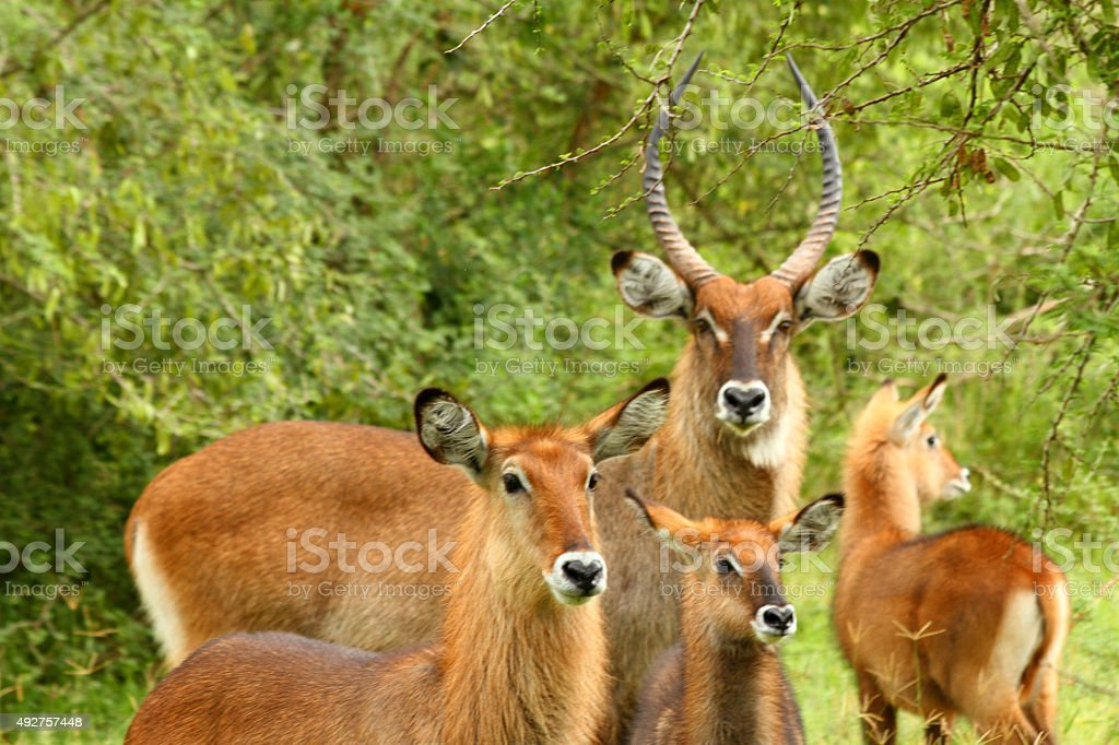 Waterbuck Family stock photo
