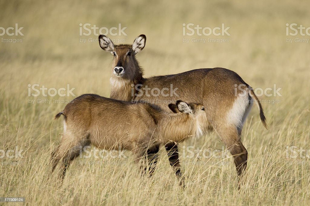Cob à croissant mère de veau et du Masaï Mara photo libre de droits