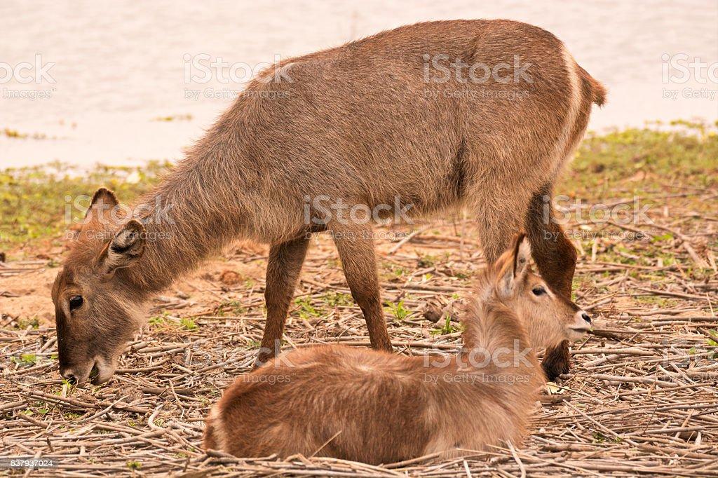 Waterbuck mother grazing stock photo
