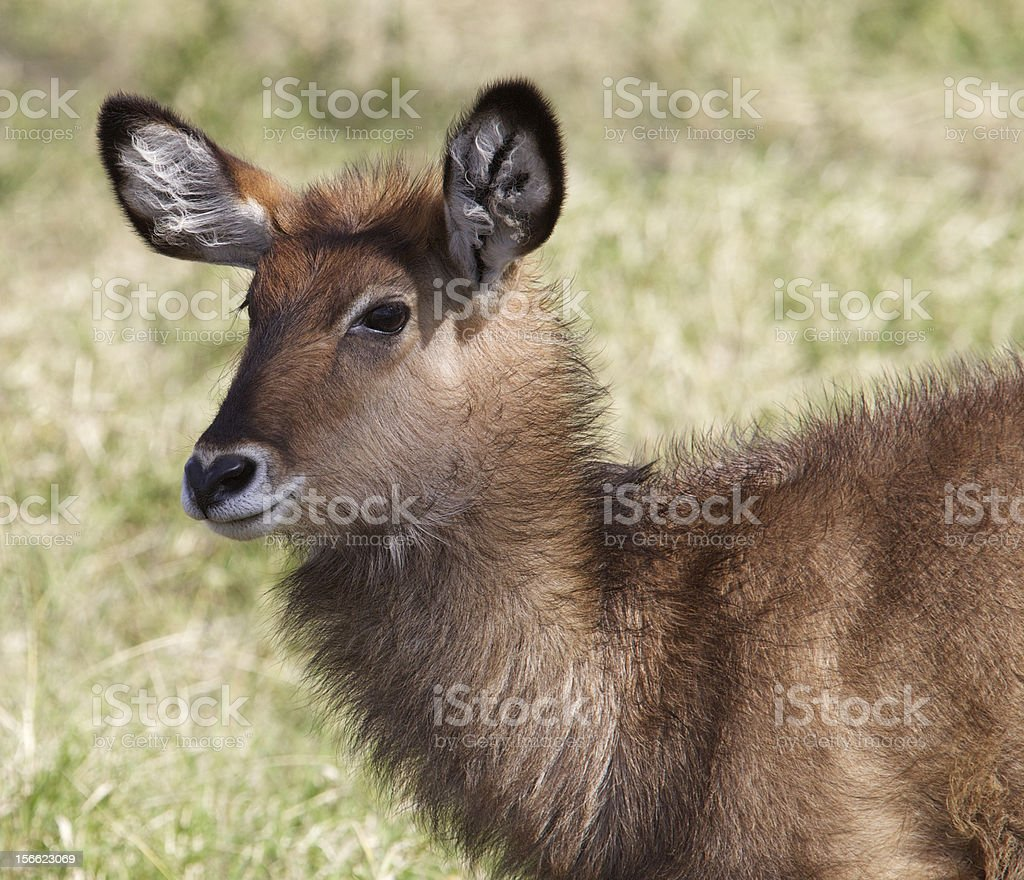 Waterbuck royalty-free stock photo