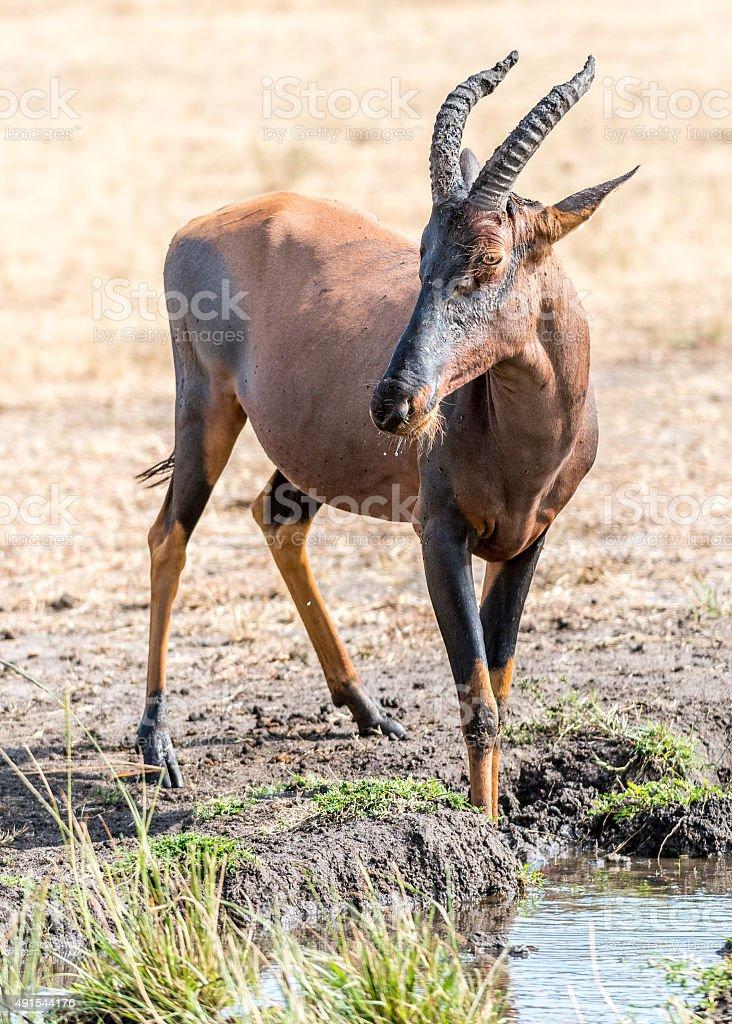 waterbuck stock photo