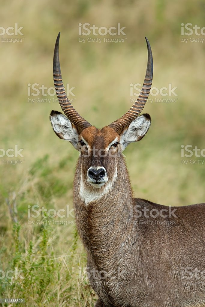 Waterbuck portrait royalty-free stock photo
