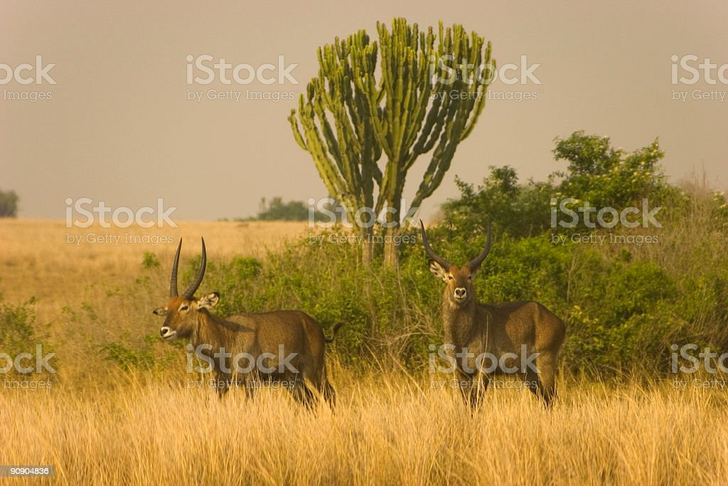 Waterbuck Spotted on a Safari stock photo