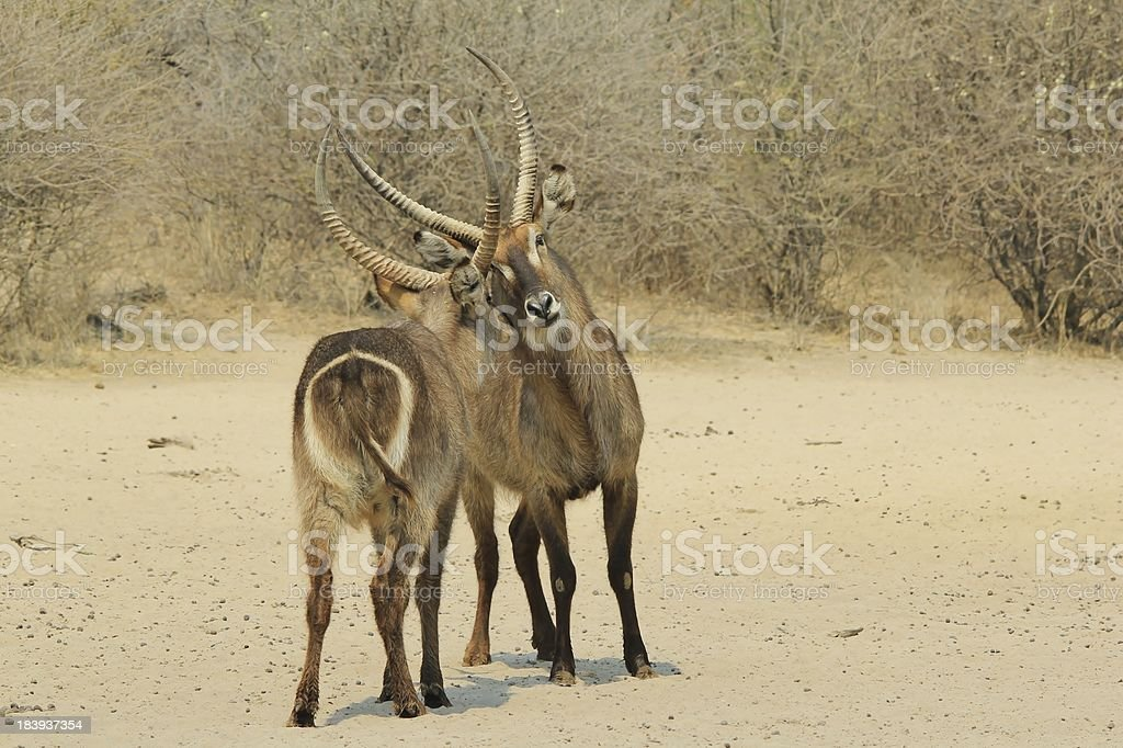 Waterbuck - Wildlife Background and Stare-down from Africa royalty-free stock photo