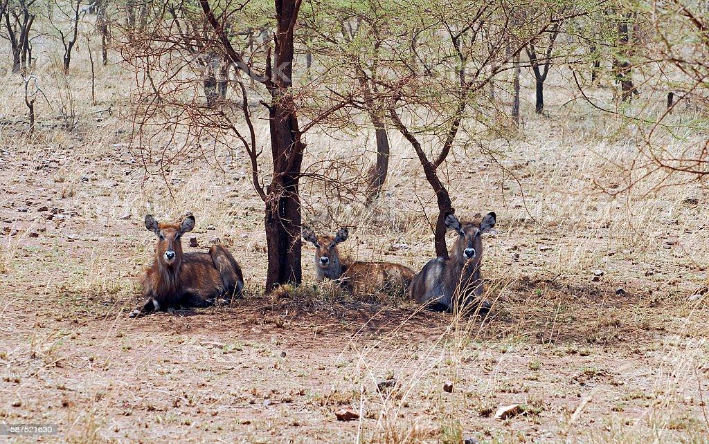 Waterbucks under the acacia tree,Serengeti National Park,Tanzania stock photo
