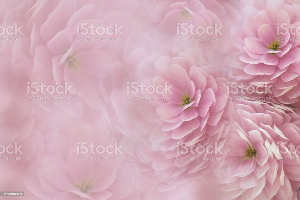 Watercolor flowers on blurry pink background . Blue-white  flowers chrysanthemum.  floral collage.  Flower composition. Nature. stock photo