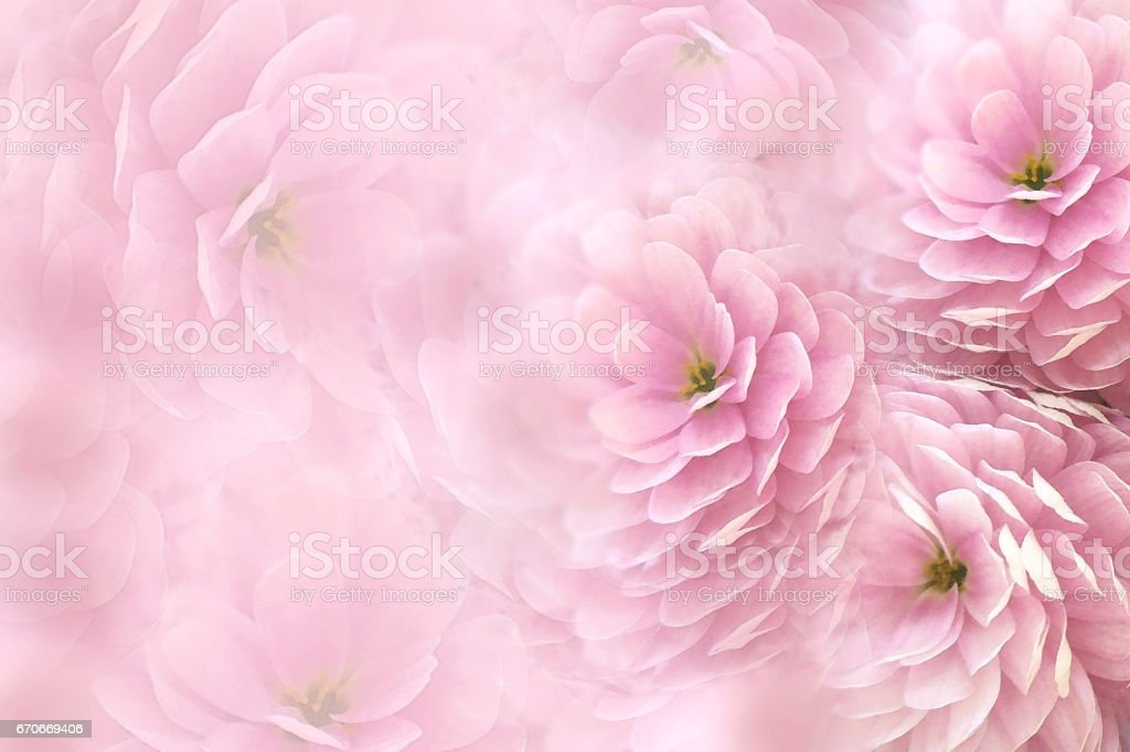Watercolor flowers on blurry pink background . Pink-white  flowers chrysanthemum.  floral collage.  Flower composition. Nature. stock photo