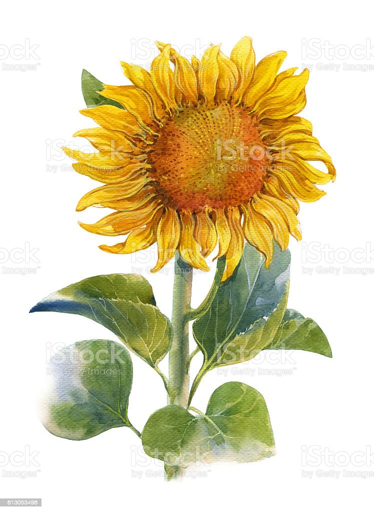 watercolor illustration painting of Yellow , flower , sunflower , on...