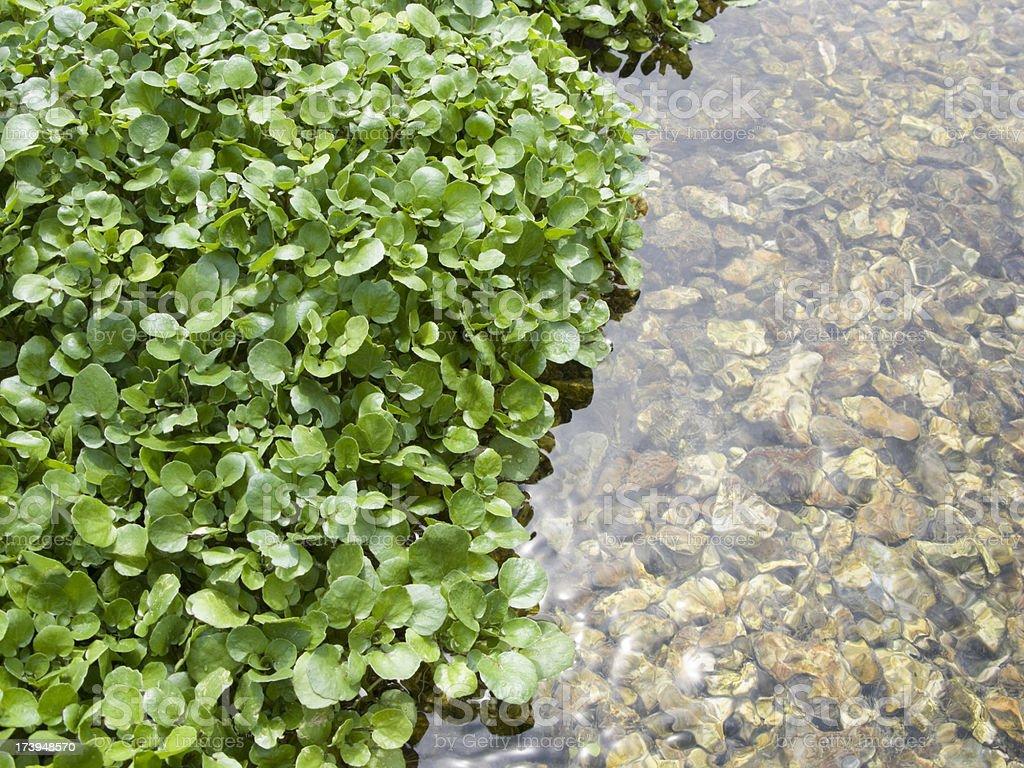 Watercress in water reflection horiz stock photo