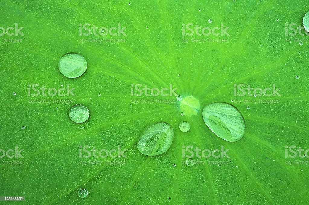 Waterdrop on lotus leaf royalty-free stock photo