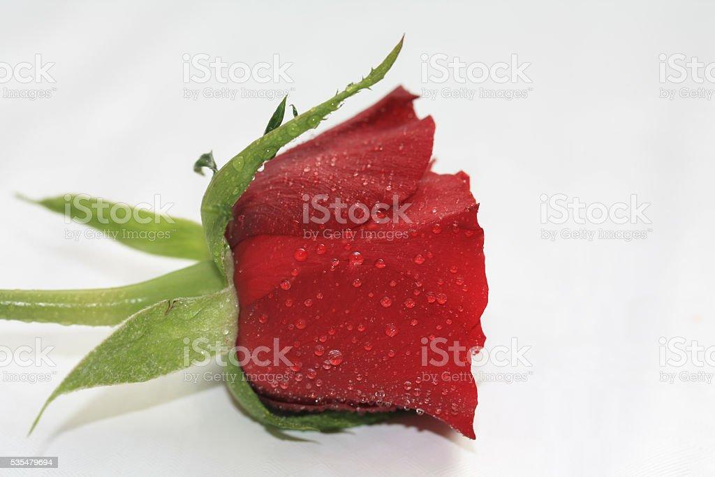 waterdrop rose stock photo