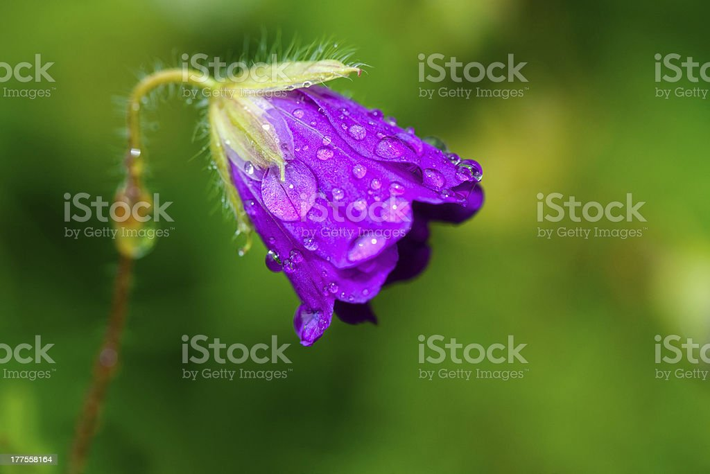 Waterdrops on a Spreading Bellflower - Campanula Patula royalty-free stock photo