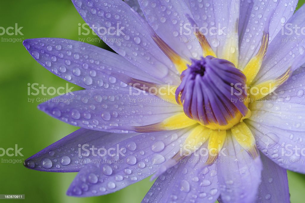 Waterdrops on waterlily royalty-free stock photo