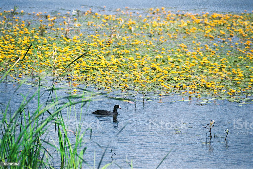 Waterfowl, duck-like in their natural habitat  standing body of water stock photo