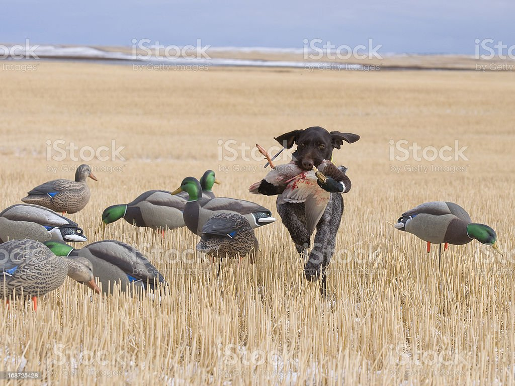 Waterfowl Hunting stock photo