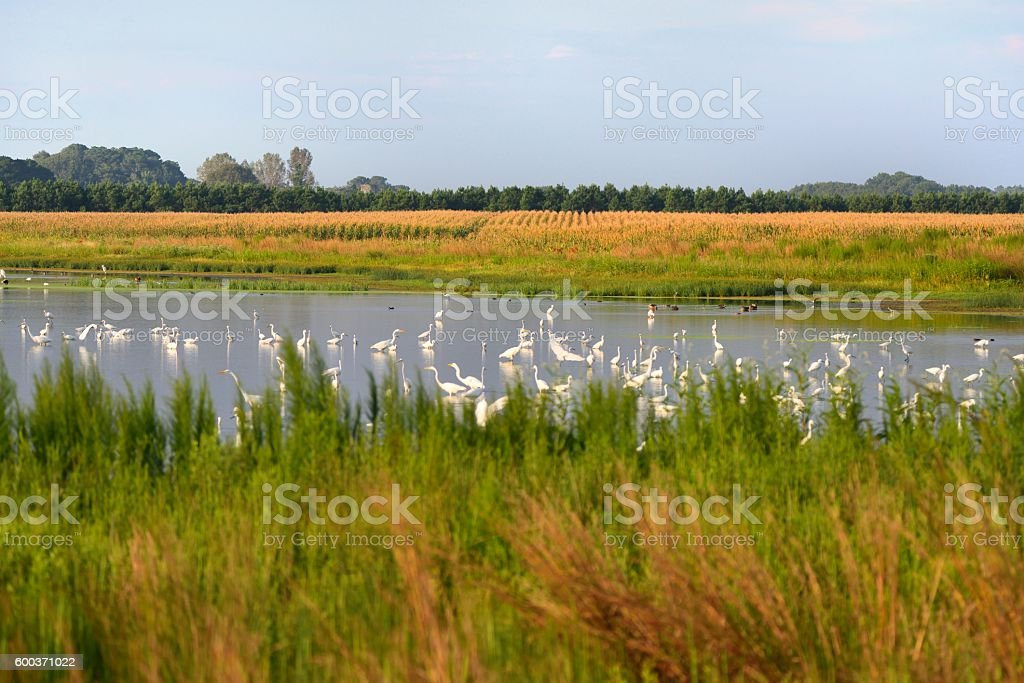 Waterfowl in Farm Runoff Pond stock photo