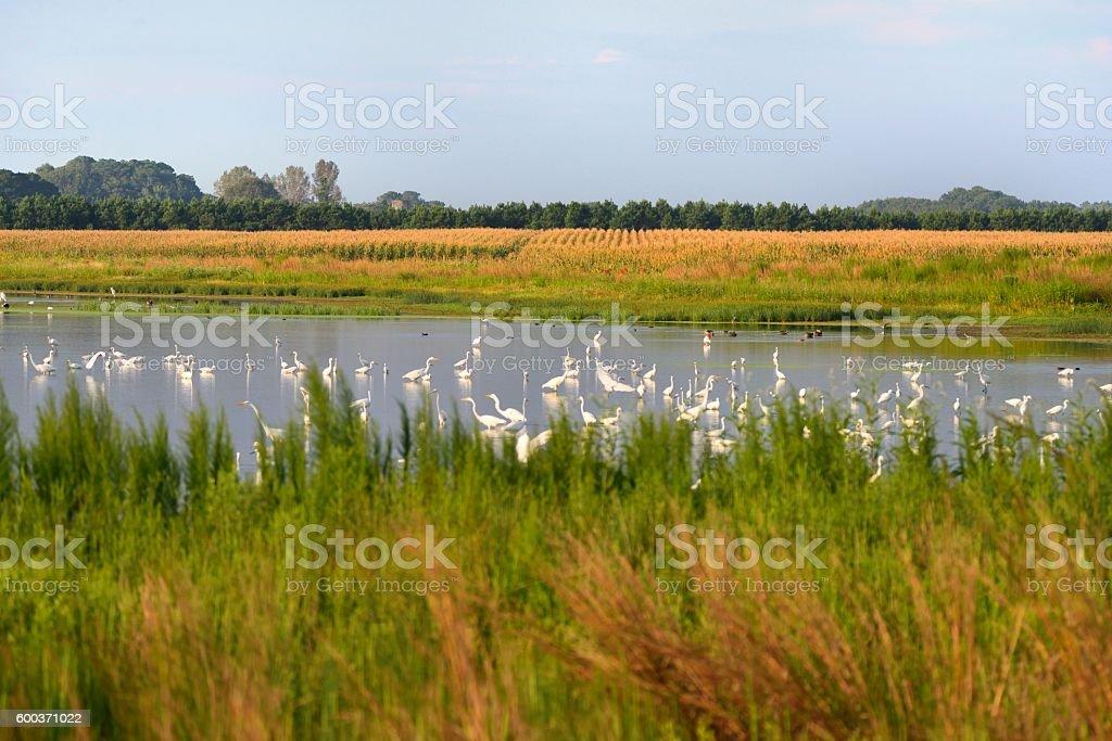 Waterfowl in Farm Runoff Pond stock photo