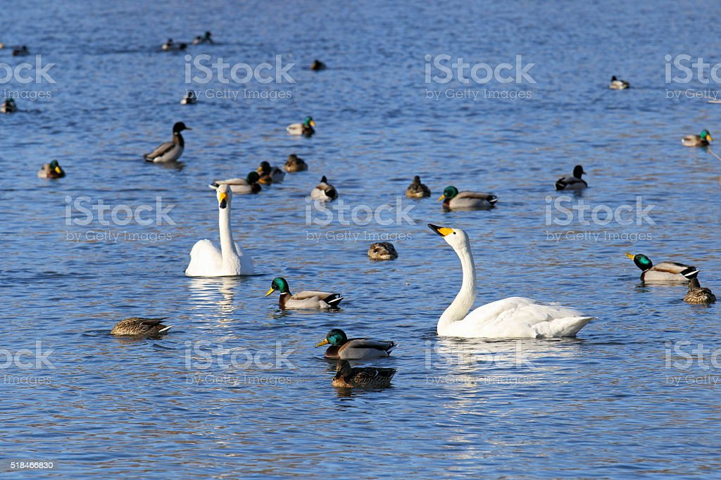 Waterfowl on the lake stock photo