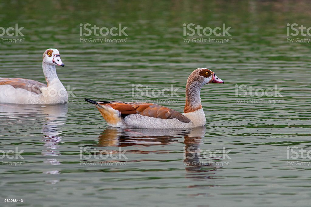 Waterfowl Simming in the Nile stock photo